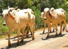 Тощие коровы, изменения климата Стоковые Фото