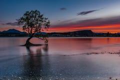 То дерево Wanaka стоковая фотография rf