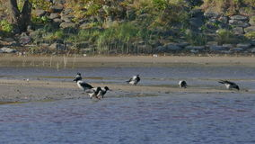 Толпа ворон ищет еду на пляже берега реки сток-видео