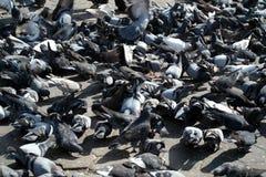 Толпа голубей Стоковые Изображения