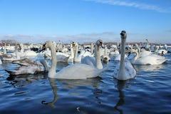 Толпа лебедя Стоковое Фото