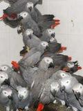 Толпа конфискованных попугаев африканского серого цвета (erithacus Psittacus) стоковые фотографии rf