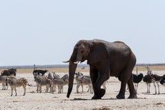 Толпить waterhole с слонами, зебрами, прыгуном и orix Стоковое Изображение