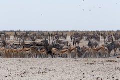Толпить waterhole с слонами, зебрами, прыгуном и orix Стоковые Фото