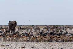 Толпить waterhole с слонами, зебрами, прыгуном и orix Стоковые Изображения