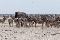 Толпить waterhole с слонами, зебрами, прыгуном и orix Стоковое Фото