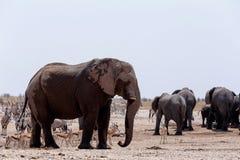 Толпить waterhole с слонами, зебрами, прыгуном и orix Стоковые Фотографии RF