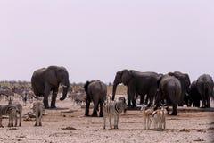Толпить waterhole с слонами, зебрами, прыгуном и orix Стоковая Фотография RF