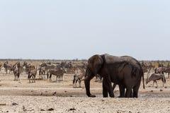 Толпить waterhole с слонами Стоковые Изображения RF