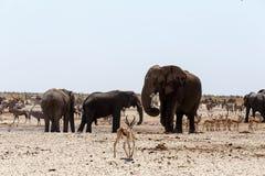 Толпить waterhole с слонами Стоковое Фото