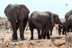Толпить waterhole с слонами Стоковое фото RF