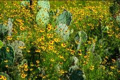 Толстая здоровая страна холма полевых цветков желтого цвета кактуса Техаса Стоковое Изображение RF