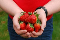 Толстенькие зрелые клубники в руках ребенка Стоковые Фотографии RF