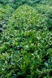 Толстый чай Стоковая Фотография