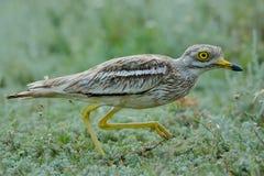 Толст-колено oedicnemus Burhinus евроазиатское, евроазиатский Камн-curlew Стоковые Фотографии RF