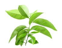 Ветвь цитрус-дерева с зелеными листьями Стоковое Фото
