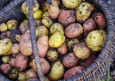 Только то выкопало картошки в корзине стоковые фото