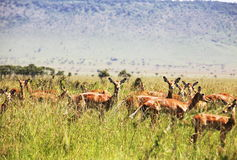 трава антилопы Стоковое Изображение