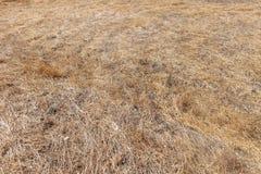 Трава Брайна умирая в середине сезона засухи стоковое изображение rf