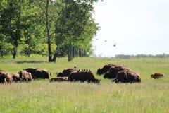 Трава буйвола пася по мере того как птицы приземляются на их задние части Стоковая Фотография