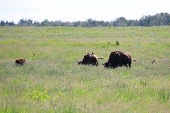 Трава буйвола пася по мере того как птицы приземляются на их задние части Стоковые Изображения RF