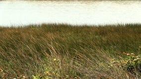 Трава будучи дунным в порывах ветра сильного ветера с водой в предпосылке сток-видео