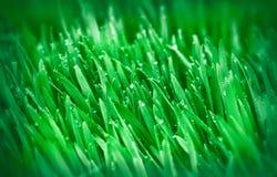 Трава весны (молодая зеленая пшеница) Стоковая Фотография