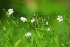 Трава весны с белыми цветками в фокусе нерезкости Стоковая Фотография RF