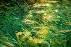 Трава выделенная лучем света Стоковые Изображения