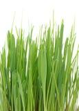 Трава в баке на белой предпосылке стоковое изображение