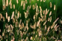 Трава в заходе солнца Стоковое фото RF