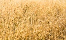 Трава в заходе солнца Стоковая Фотография RF
