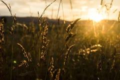 Трава в заходе солнца Стоковые Фотографии RF