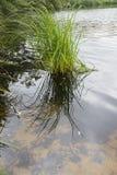 Трава в озере Стоковые Изображения