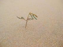Трава в пустыне Стоковое Фото