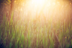 Трава в солнечном свете утра - стоковое изображение rf