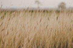 Трава в траве хранила, засушливый сезон стоковые изображения rf