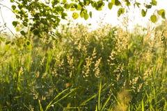 Трава в утре лета Стоковое Изображение RF