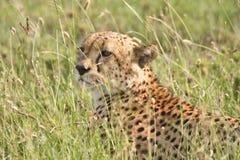 трава гепарда пряча высокорослую Танзанию Стоковая Фотография RF