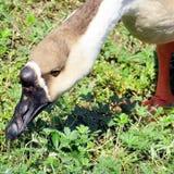 Трава гусыни лебедя озера Торонто китайская щиплет 2016 Стоковое Фото