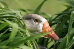 трава гусыни Стоковая Фотография RF