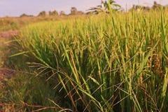 Трава деланная пи-пи в поле риса, Leptochloa стоковое изображение