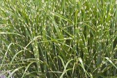 Трава дикобраза Стоковое фото RF
