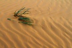 Трава дунутая ветром на точной песчанной дюне Стоковые Изображения RF
