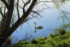 трава дерева лебедя реки Стоковое Изображение RF