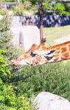 Трава еды жирафа головная и наслаждаться в солнечном дне Стоковая Фотография