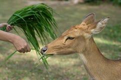 Трава женщины подавая для оленей Стоковые Фото
