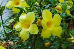 Трава желтой природы цветка зеленая Стоковые Изображения RF