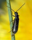 трава жука Стоковая Фотография