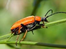 трава жука Стоковая Фотография RF